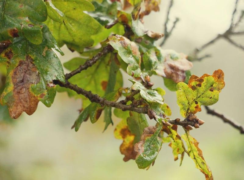 Oak leaves turning brown