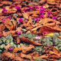 cyclamen amongst leaves