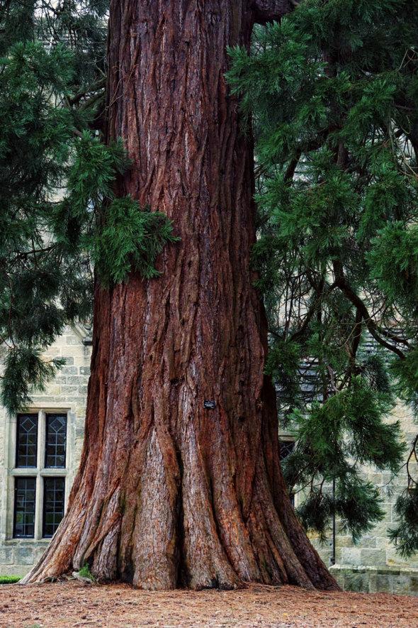 Redwood base