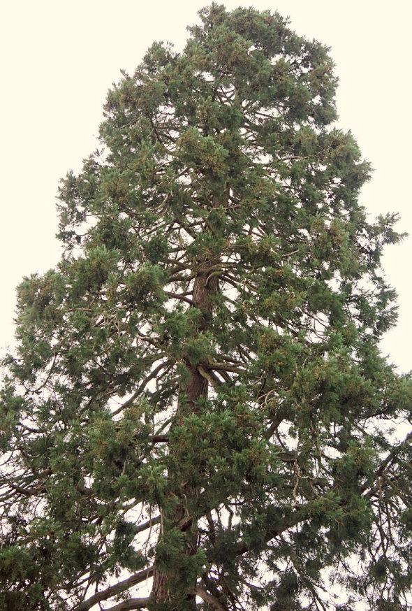 top of Wakehurst Redwood