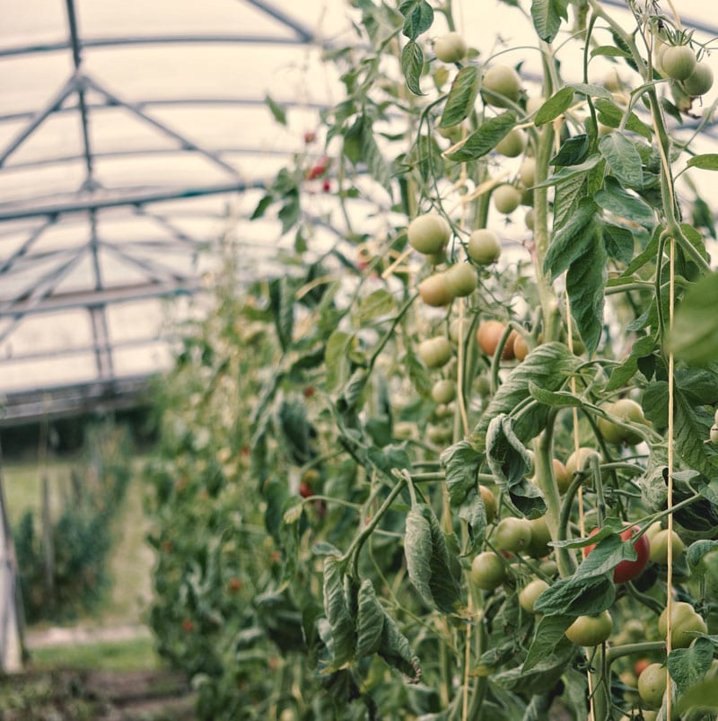 tomatoes polytunnel
