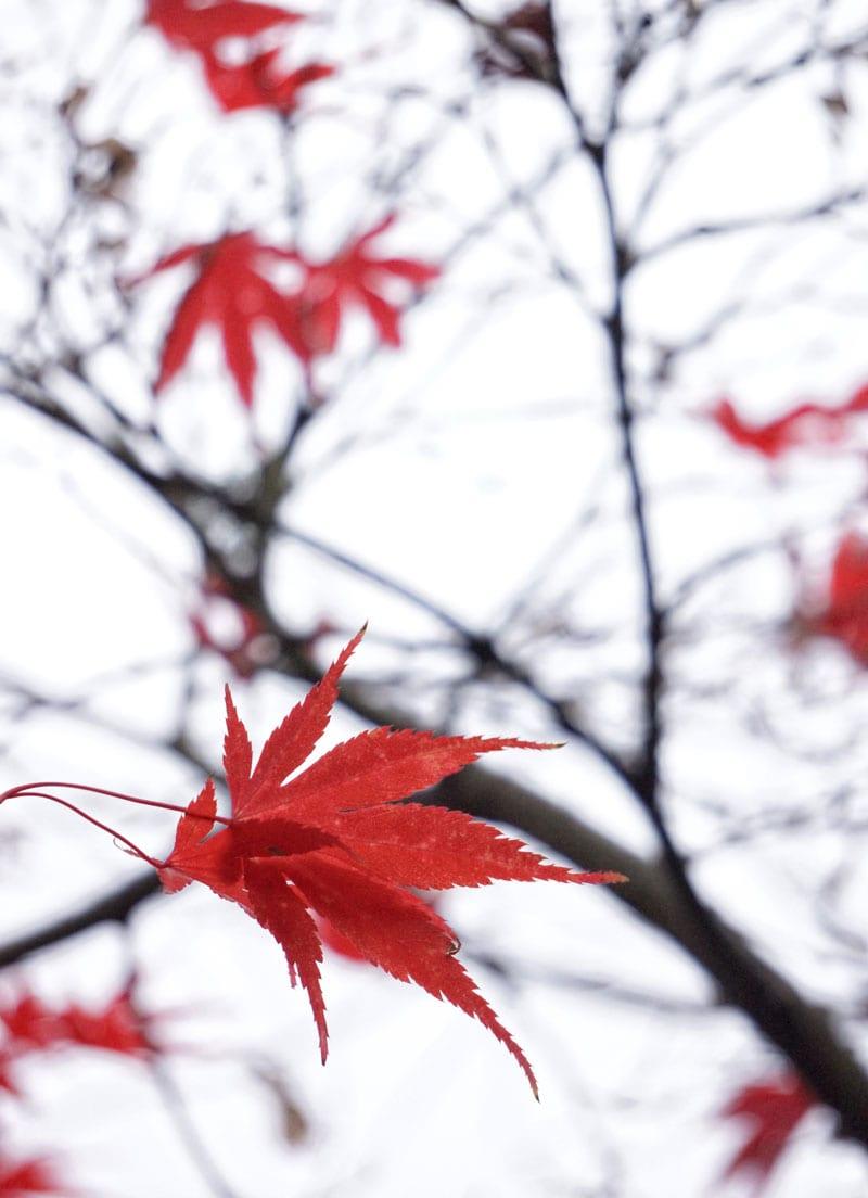 Maple leaves in tree
