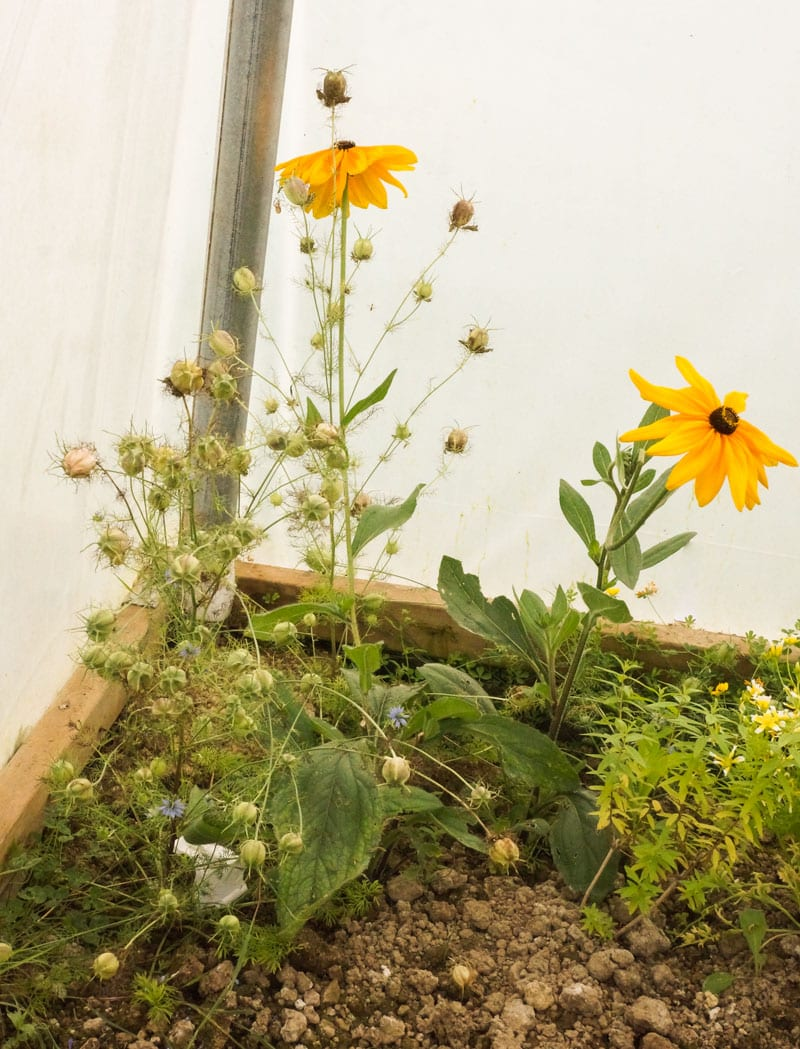 wildflowers-in-polytunnel
