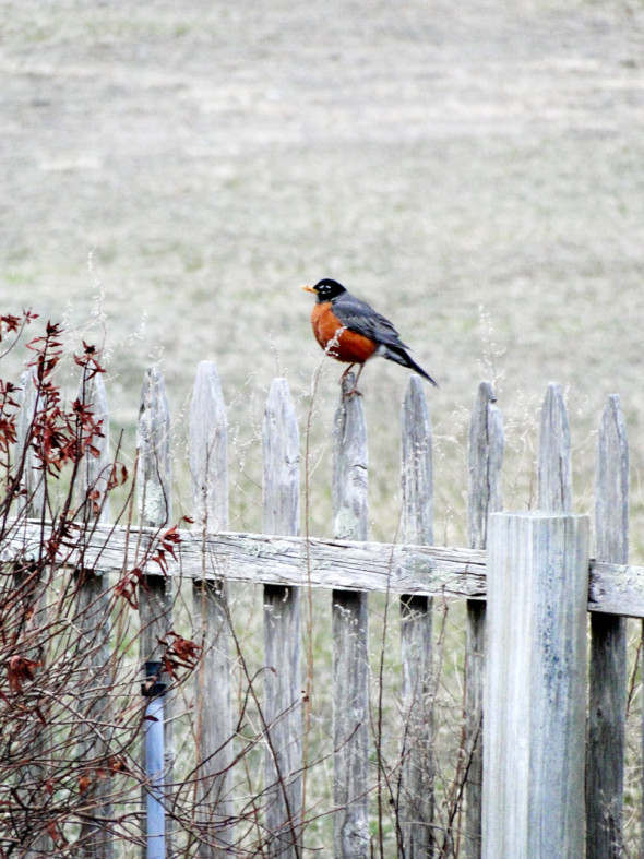 American robin on fence