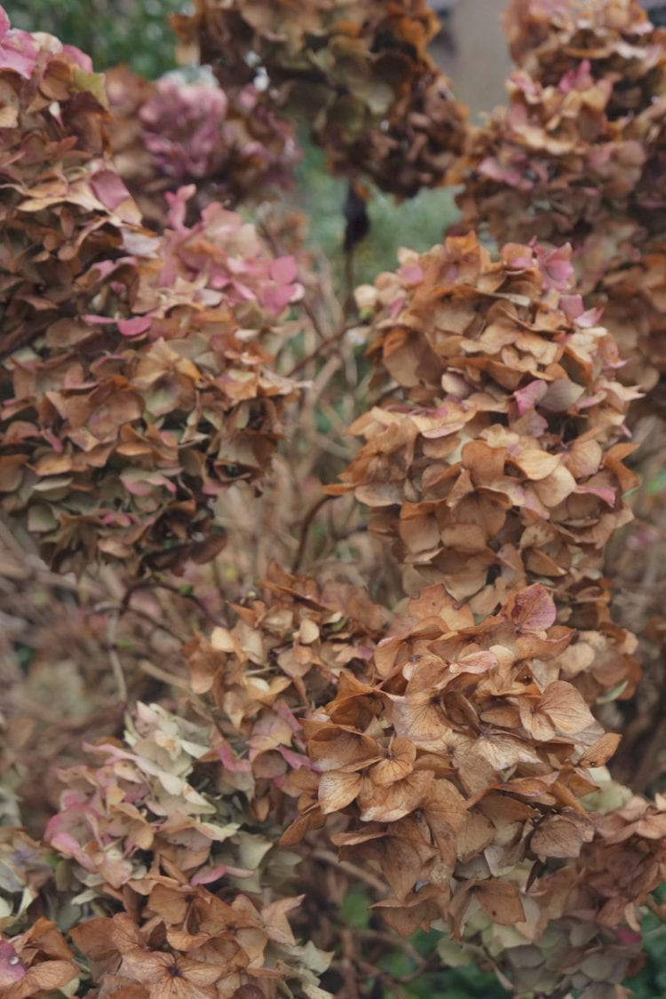 Hydrangea flower heads today
