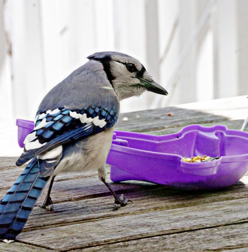 Blue Jay on outdoor table