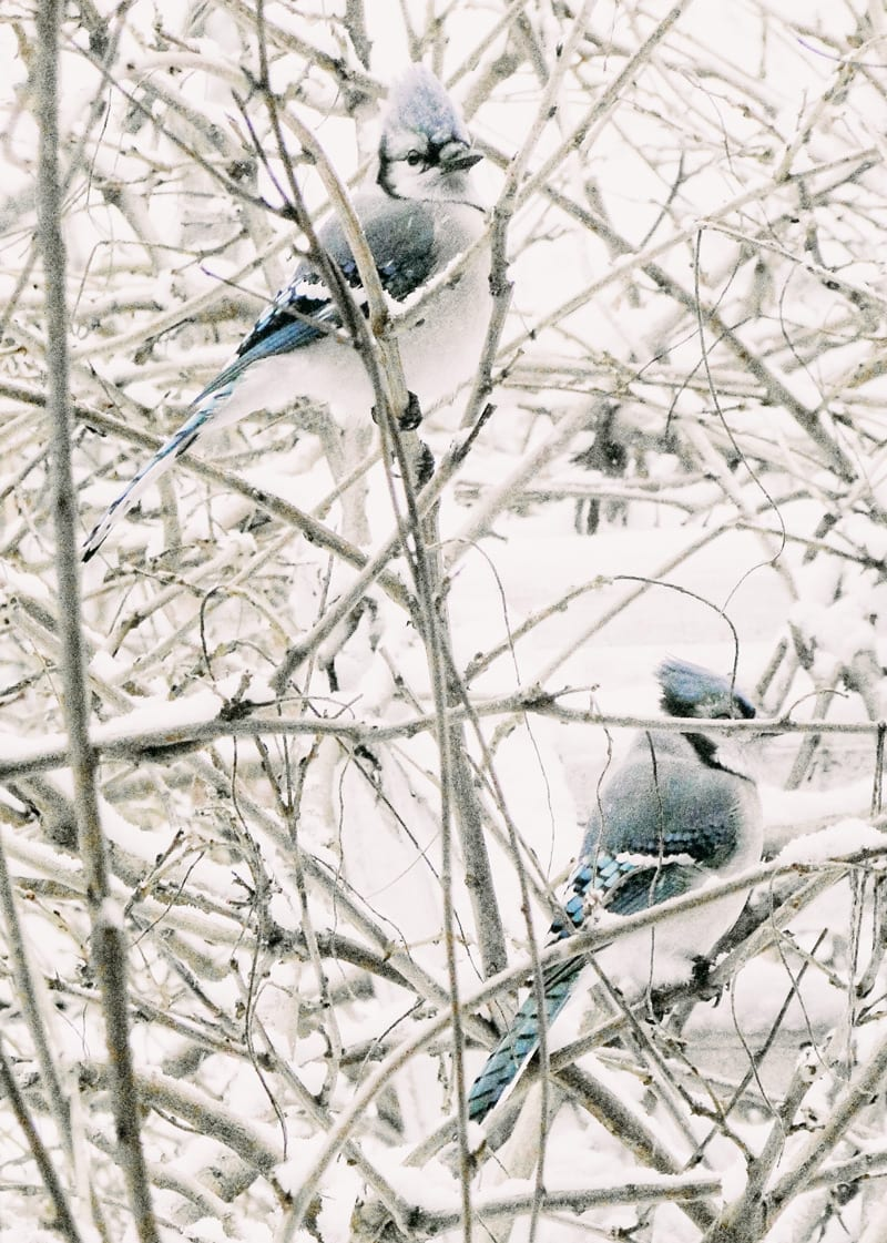 pair of blue jays in snow