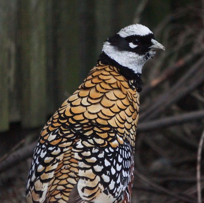 Captive Reeves's pheasant