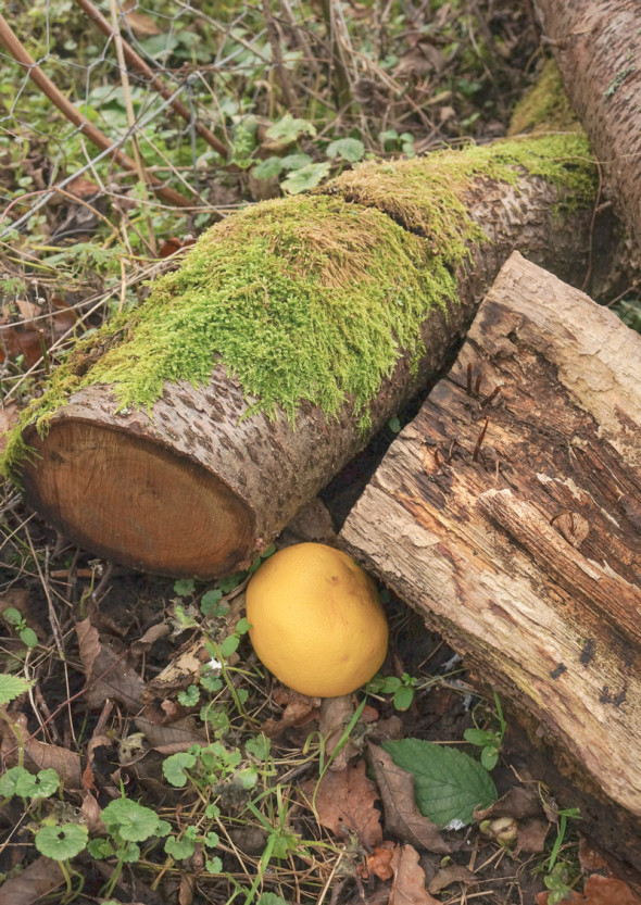 grapefruit trap by logs
