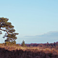 lone pine Ashdown Forest Pooh walk