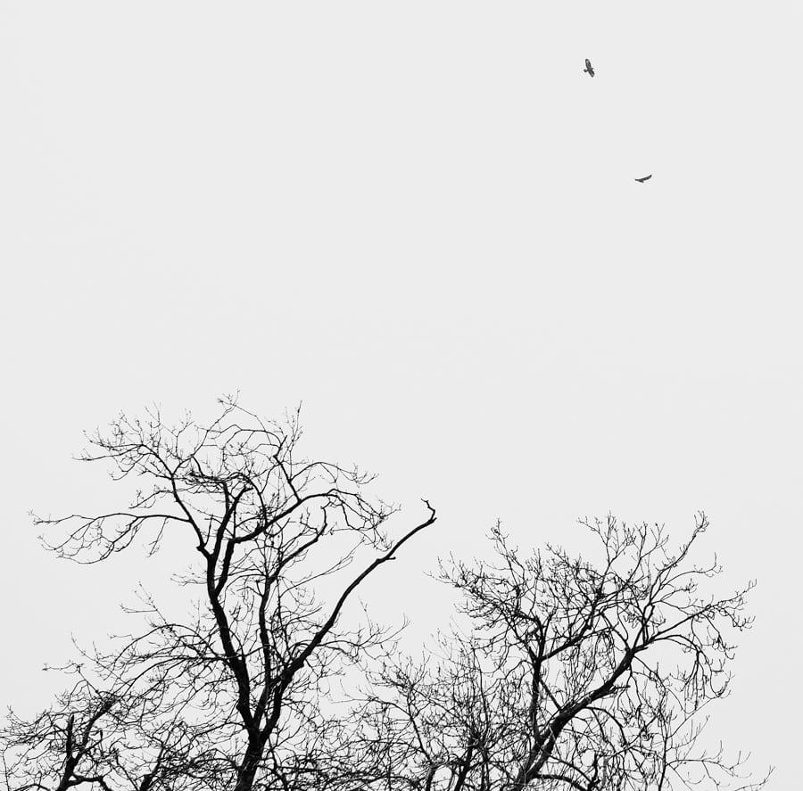 pair common buzzards Sussex