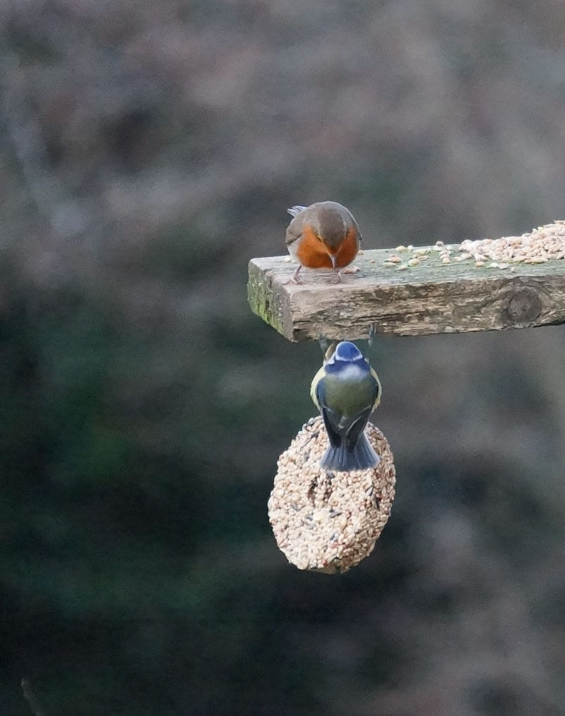 Robin and blue tit