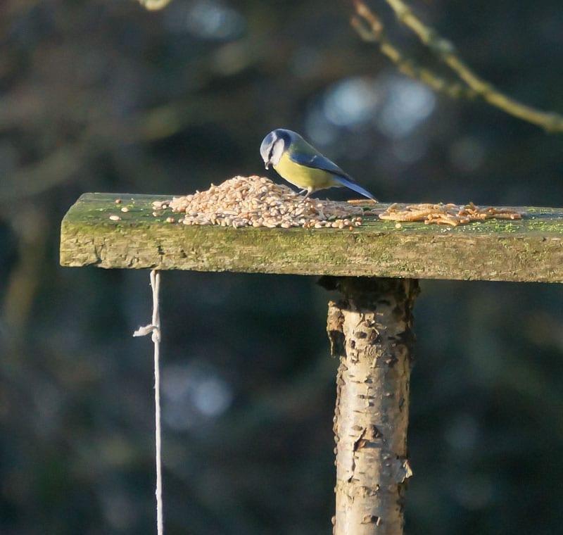 blue tit eating wild bird food