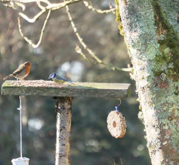 robin and blue tit feeder together