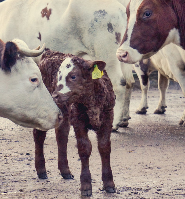 10day old calf with cows