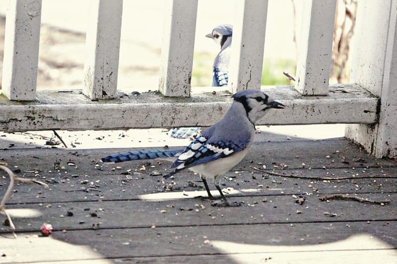 pair blue jays on back deck