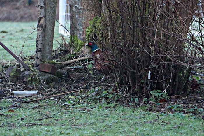 Ring necked pheasant next to birdfeeder platform