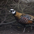 Non native Reeves's Pheasant