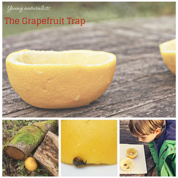 Young naturalists grapefruit trap