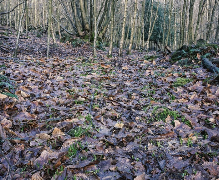 Bluebell shoots and dead leaves on path