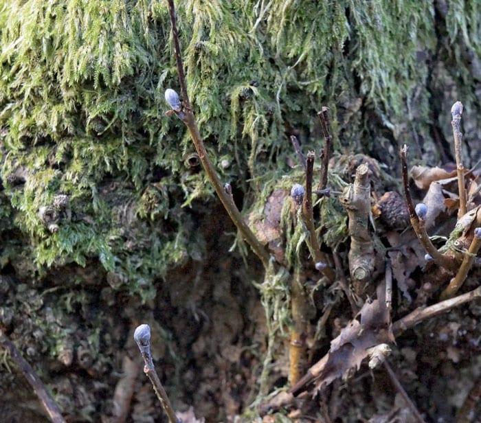 Buds and moss on tree