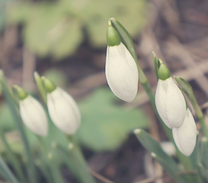 cluster of snowdrops