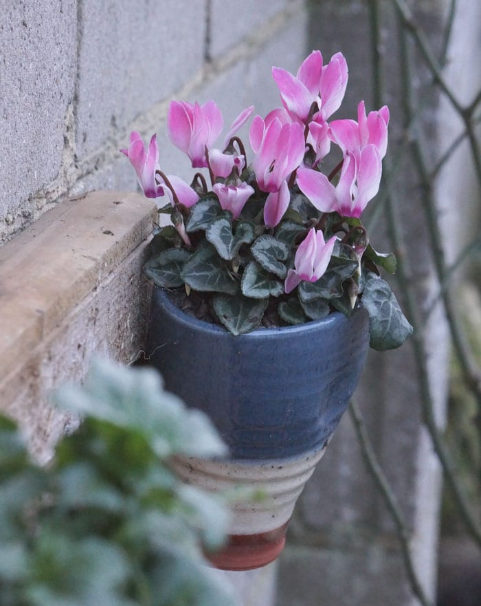 cyclamen in wall pot means diffidence