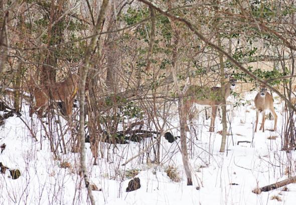 Deer in snow in woods