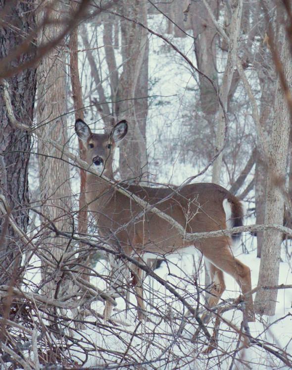 startled deer in woods