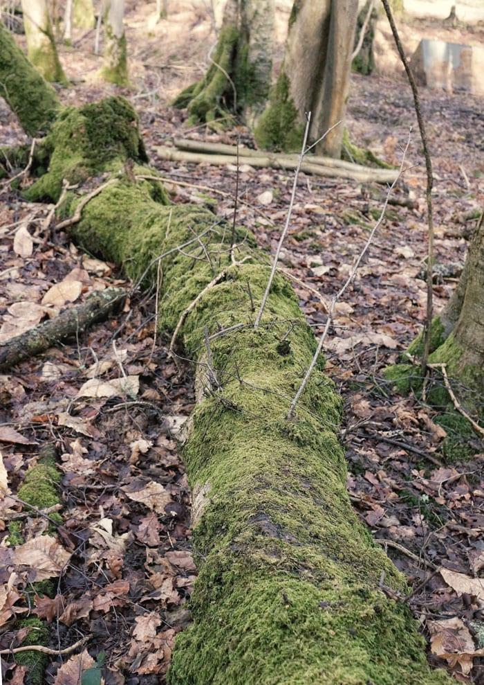 Fallen trunk covered in moss