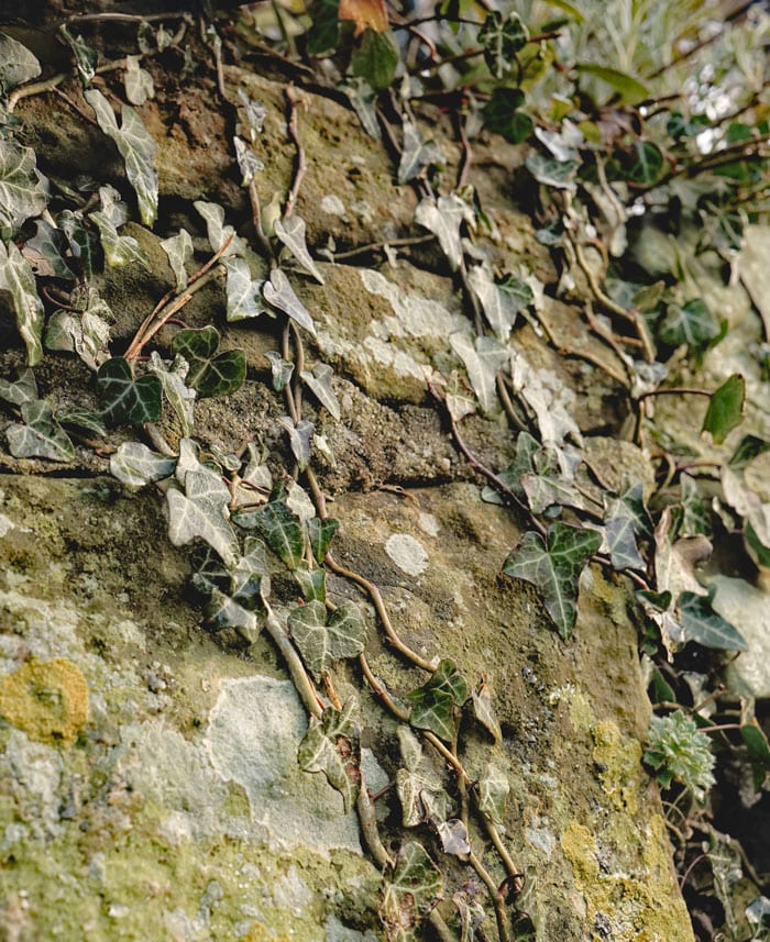 ivy on ancient wall