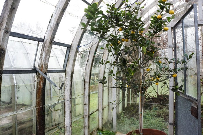 Lemon tree in old greenhouse