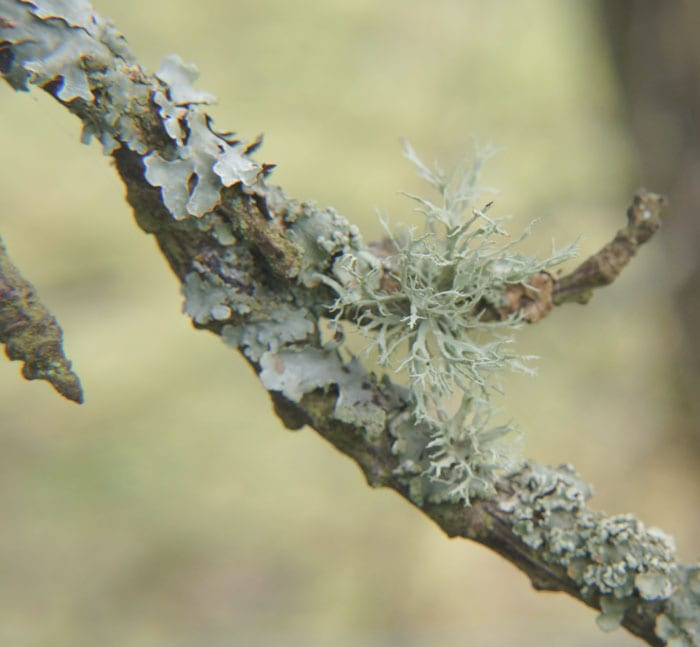 Two types of lichens on branch