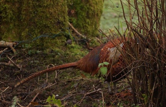 pheasant behind shrub