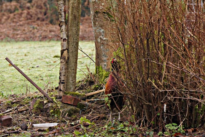 another day another pheasant