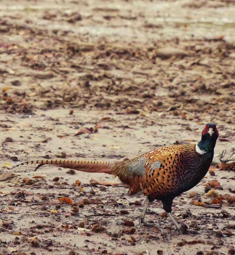 pheasant standing in mud