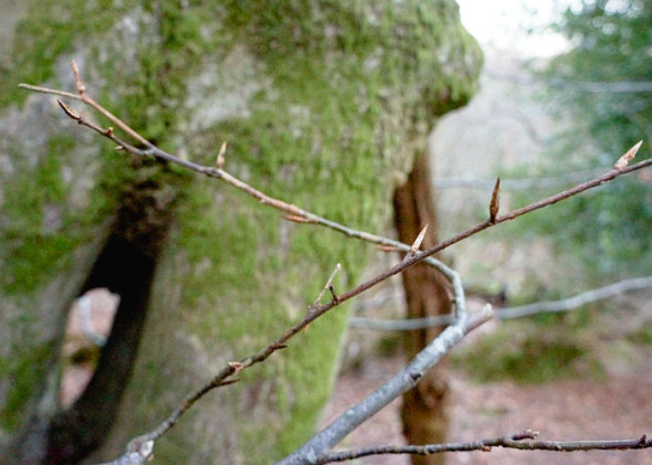 beech twigs and buds