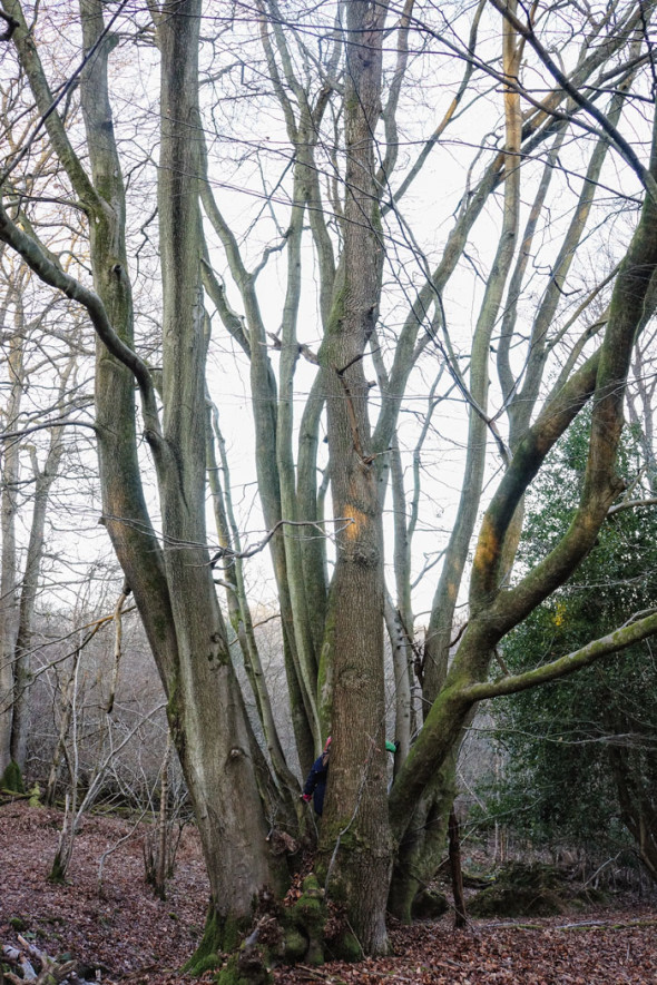 Cluster of beech trees and oak