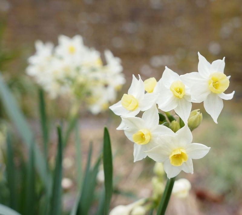 Bunch Daffodils Narcissus Tazetta