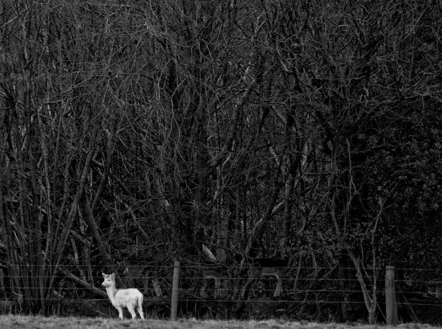 White fawn in front of woods with deer inside