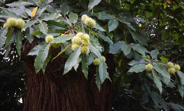 Seed pods on sweet chesnut tree