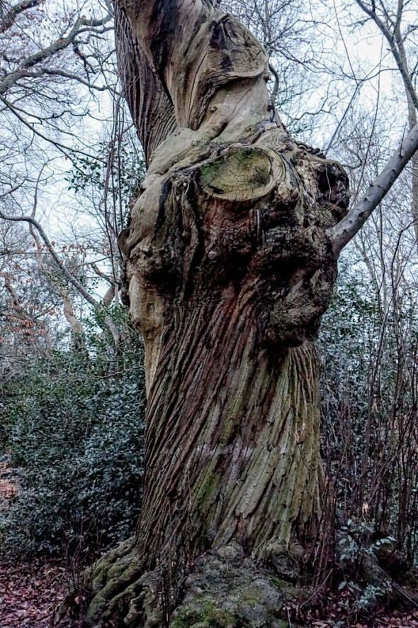 Bark on ancient chesnut in winter