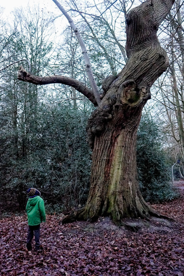 Twisted Ancient Sweet Chestnut in winter