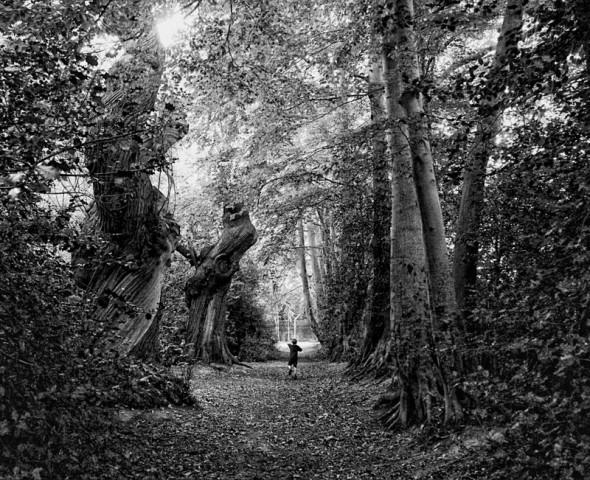 Evelyn Sweet Chestnut tree avenue in Felbridge B&W