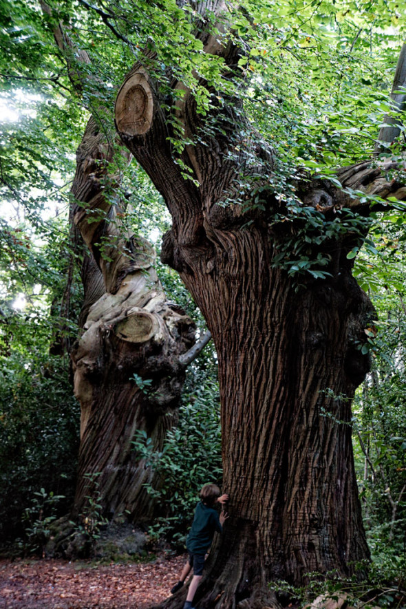 Bark on ancient sweet chestnuts in late summer