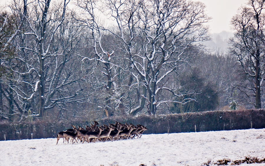 Herd of fallow deer running in snow