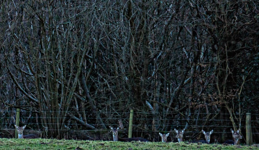 Hide and seek Fallow Deer