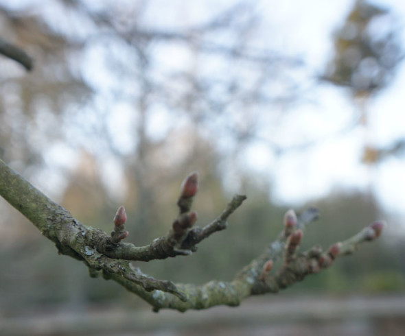 Buds on sweet chestnut