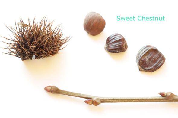 sweet chestnut winter id
