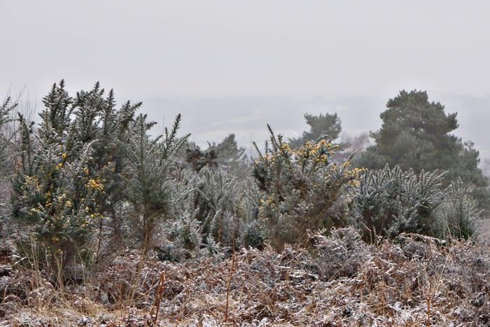 Gorse bushes and view in Ashdown Forest